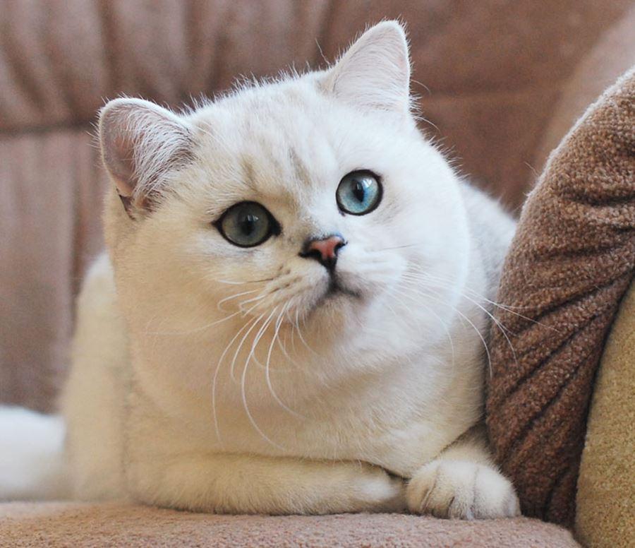 Клички для кошек-девочек британской породы