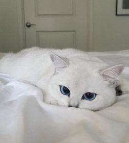 Кот Коби с самыми красивыми глазами
