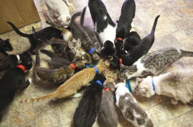 Конкуренция кошек за еду