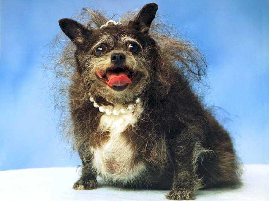 Конкурс на самую уродливую собаку