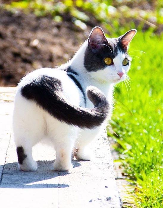 Коротолапая кошка манчкин