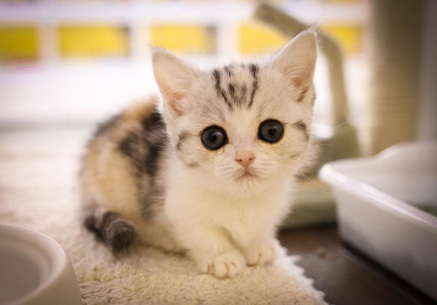 Коротколапая кошка манчкин