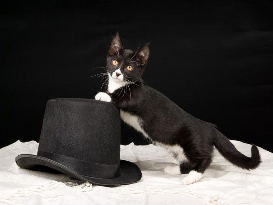 Коротолапые кошки манчкин