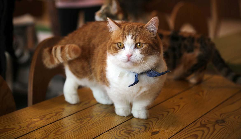 Порода манчкин: «коротколапые» кошки
