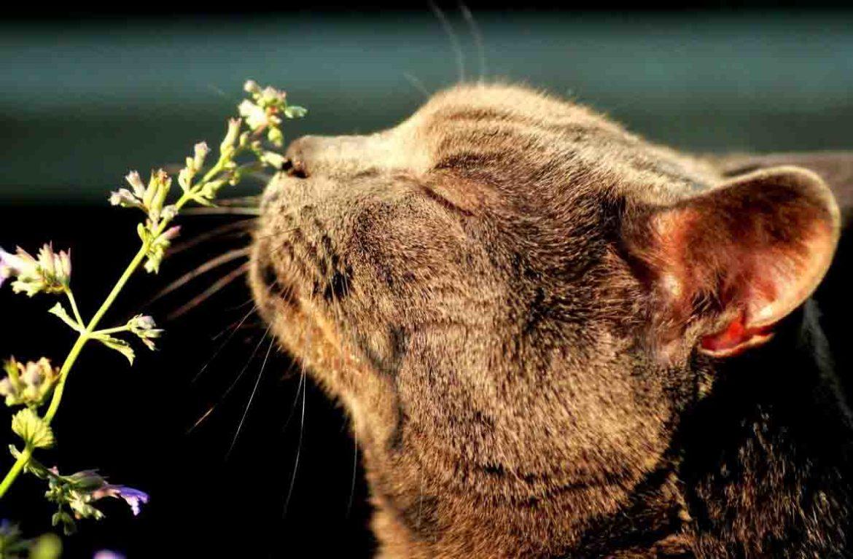 Кошачья мята вредна для кошек?