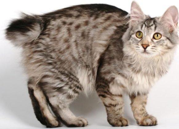 Кошка без хвоста курильский бобтейл