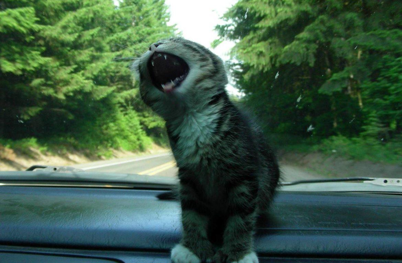 Кошка боится ездить в машине: что делать?