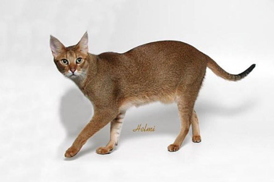 Кошка чаузи: фото