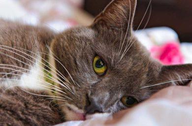 Кошка чихает: причины, лечение