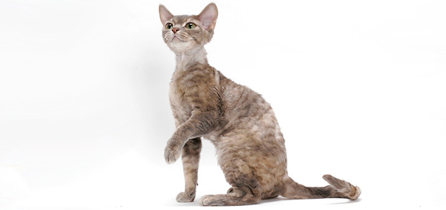 Кошка девон-рекс: цена