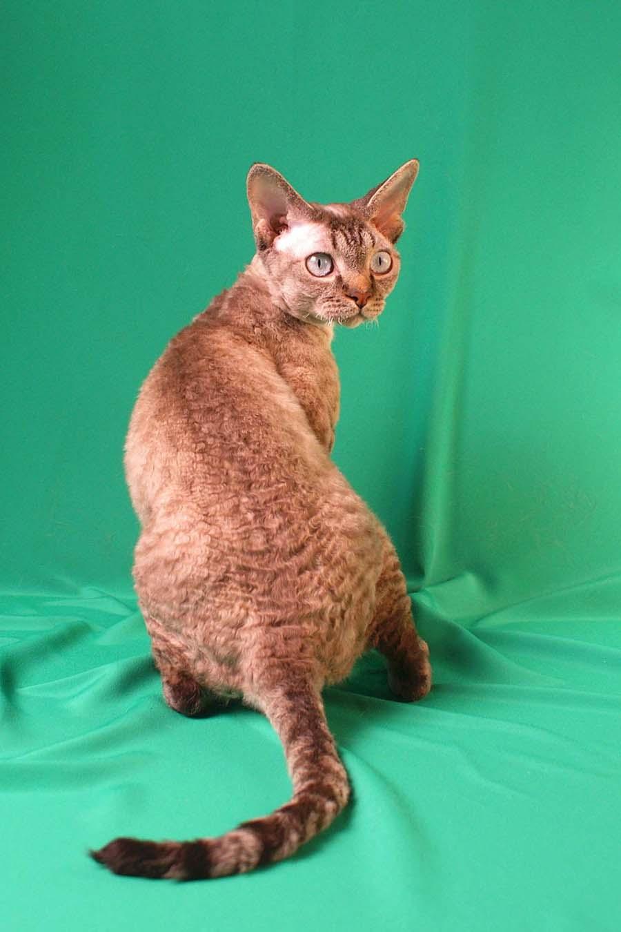 Кошка девон-рекс: отзовы