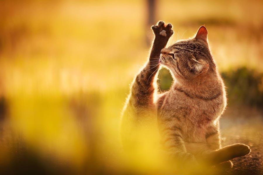 Кошка: домашнее дикое животное