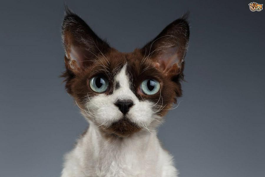 Кошка породы девон-рекс: цена