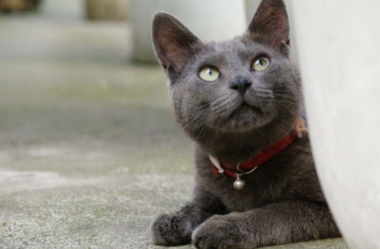 Порода корат: фото кошек, приносящих счастье