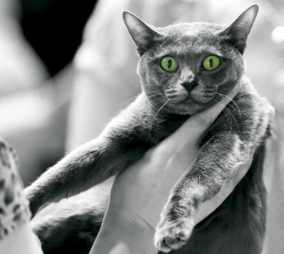 Кошка породы корат: фото