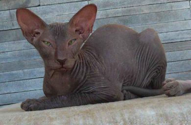 Фото кошки породы петерболд