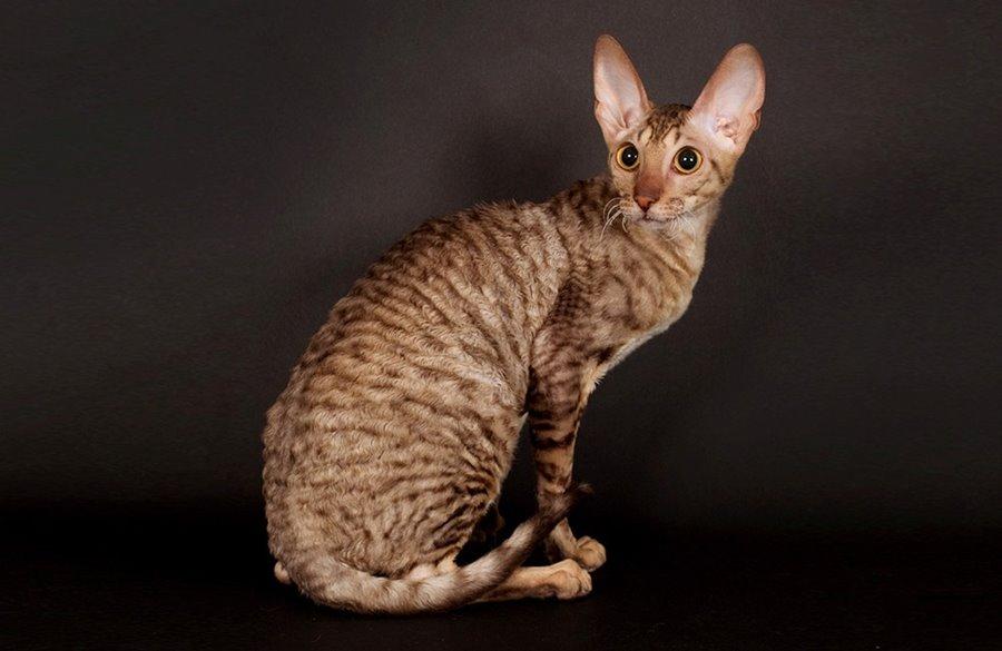 Кошка с кудрявой шерстью
