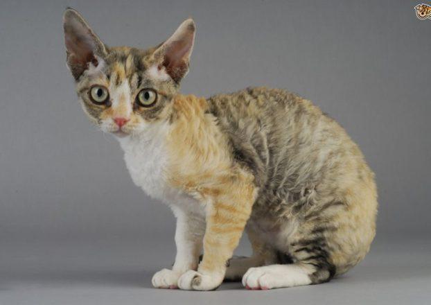 Порода кошки с кудрявой шерстью