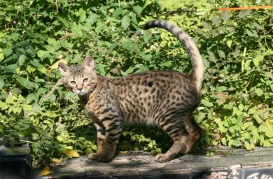 Кошка серенгети: видео
