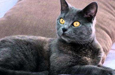 Картезианская кошка - фото