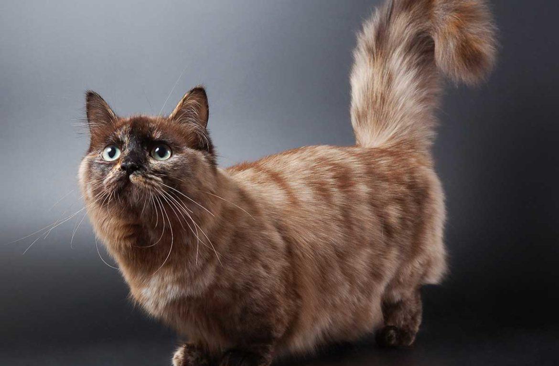 Кошка манчкин на фото: 10 интересных фактов