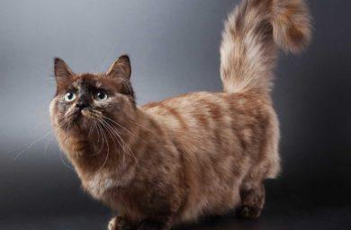 Кошка такса манчкин: фото