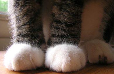 Кошка топчется передними лапами