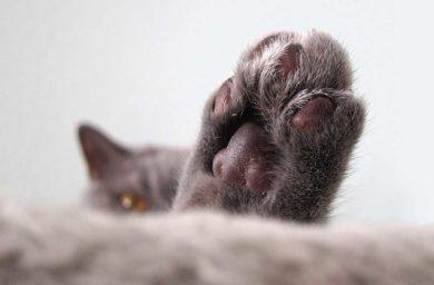 Кошка топчется задними лапами