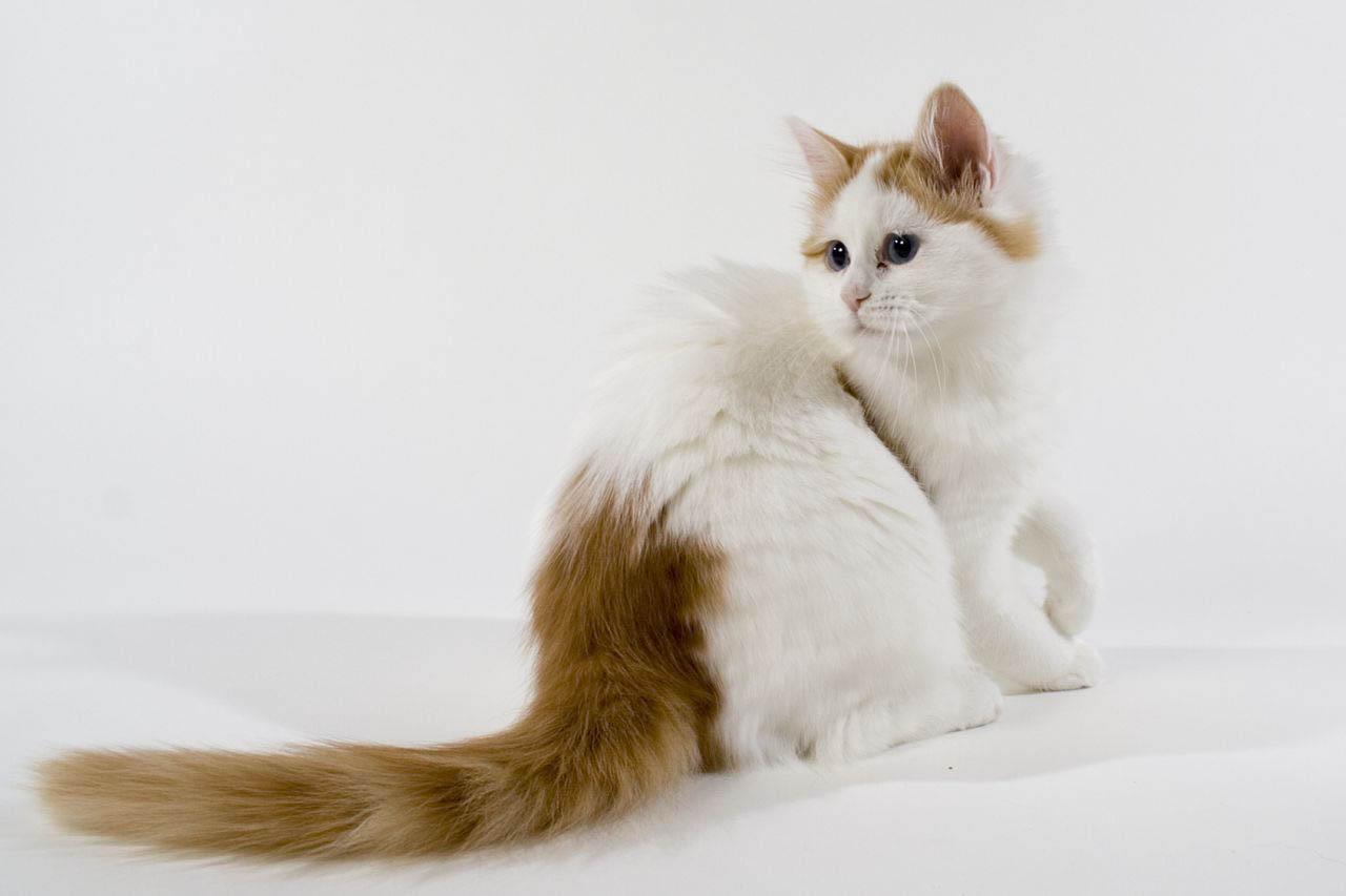 Кошка турецкой породы охраняется государством