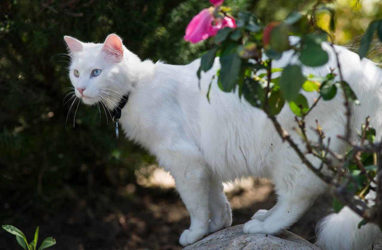 Белая кошка турецкой породы – национальное богатство Турции