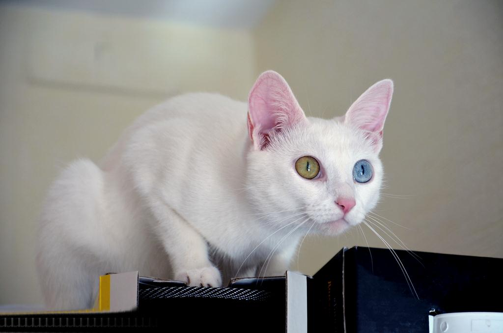 Кошка турецкой породы считается национальным богатством