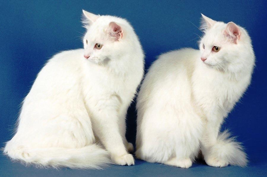 Кошка турецкой породы в турции охраняется государством