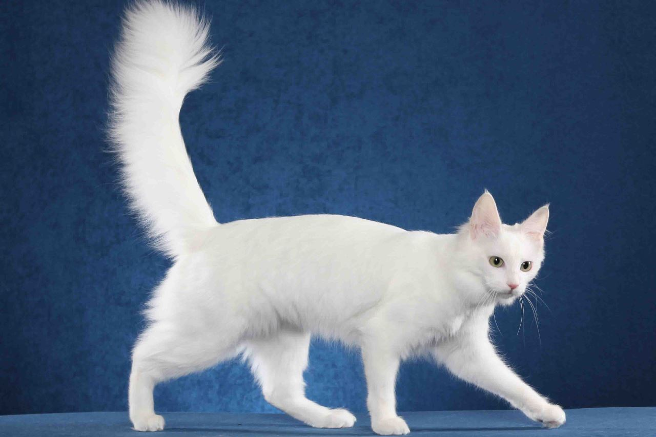 Кошка турецкой породы