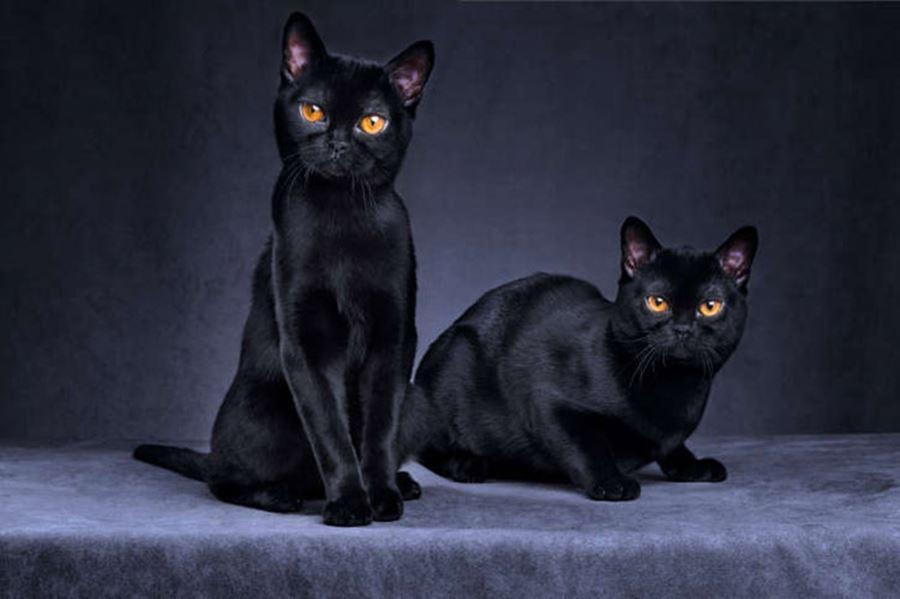 Кошки бомбейской породы: фото