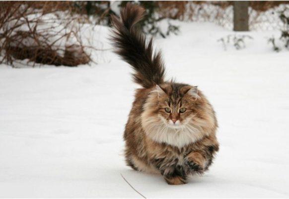 Кошки Норвегии