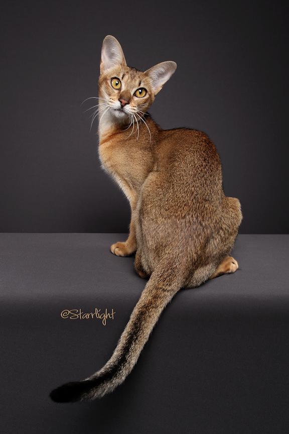 Кошки породы чаузи: фото