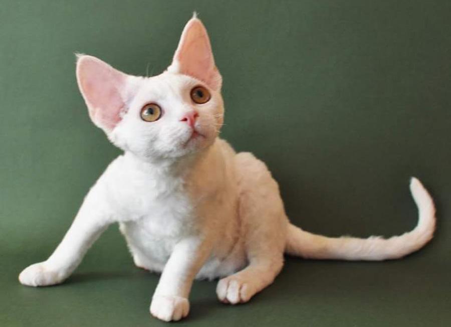 Кошки породы девон-рекс: цена, фото