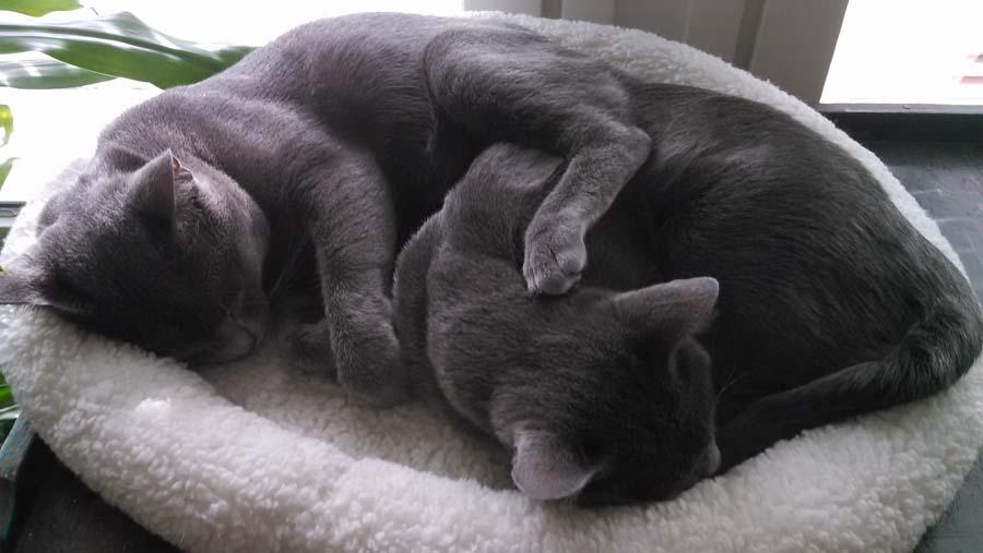Кошки породы корат: фото