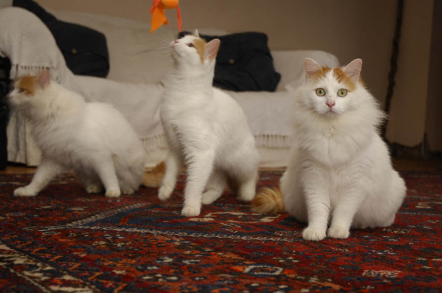 Кошки породы ван