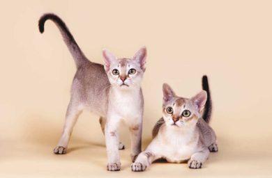 Кошки сингапурской породы: фото