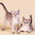 Сингапурская кошка: фото кошки-крошки