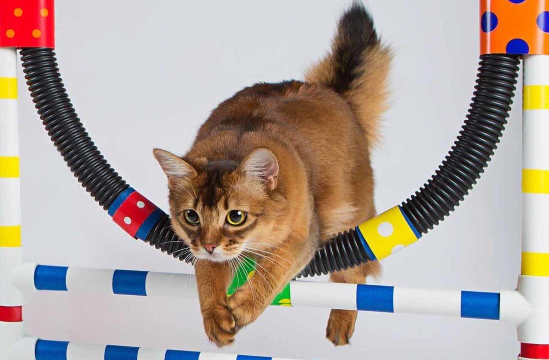 Самые спортивные породы кошек