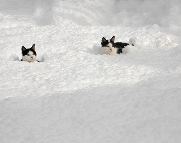 Кошки в снегу: фото