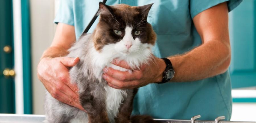 Кошку укусил клещ: последствия