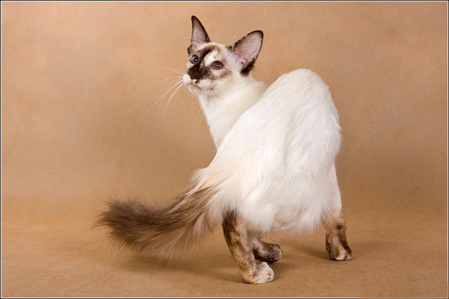 Кот балинезийской породы: фото