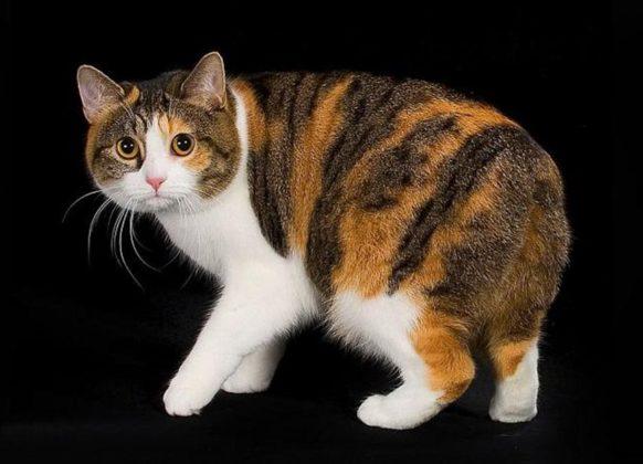 Кот без хвоста мэнкс