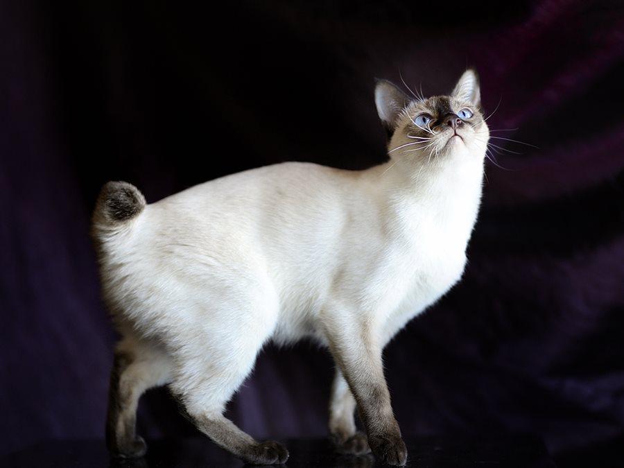 Кот без хвоста породы российско-азиатский бобтейл