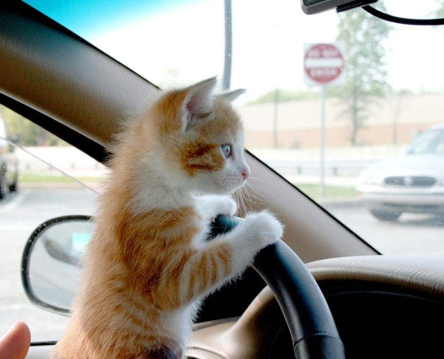 Кот боится ездить в машине