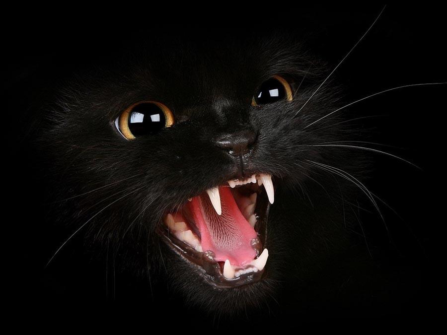 Кот бомбейской породы