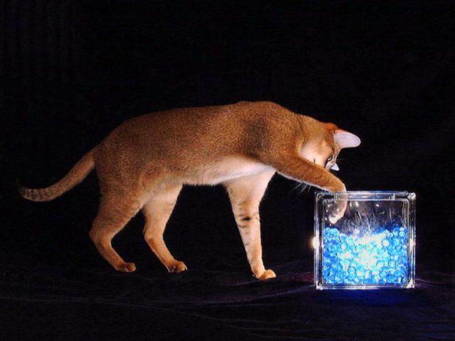 Кот чаузи фото